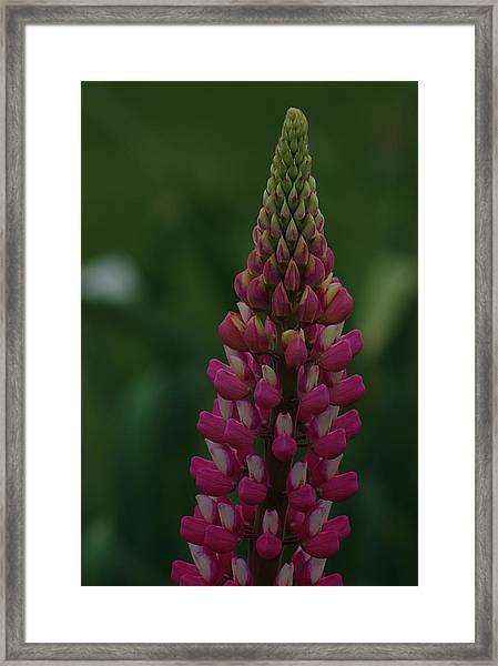 Lupine Framed Print