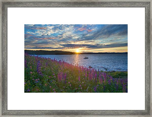 Lupine Sunset On Long Lake Framed Print