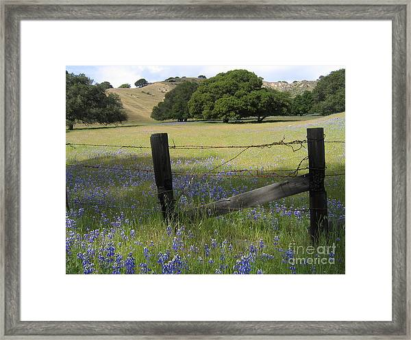 Lupines And Oaks Framed Print