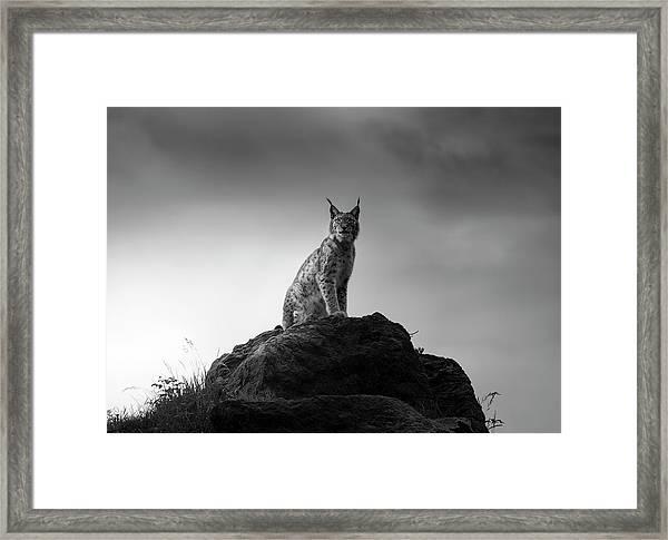 Lynx Drama. Framed Print