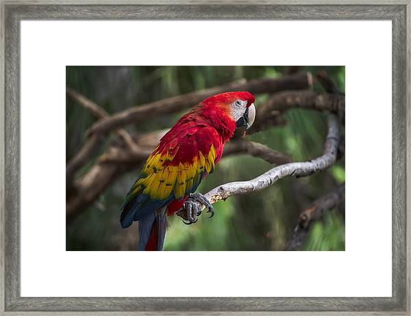 Macaw Colors Framed Print
