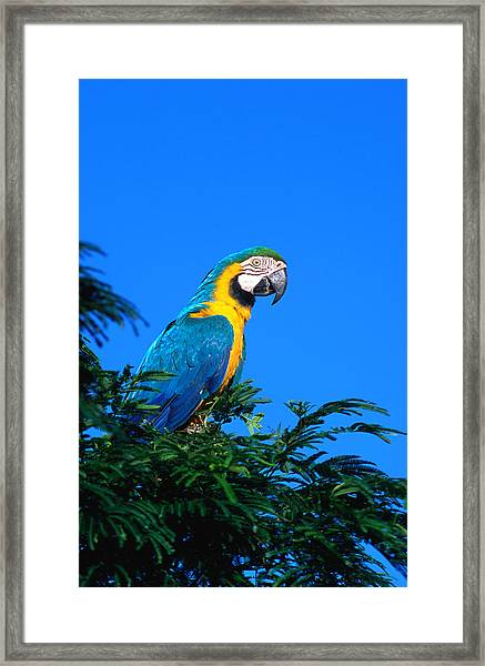 Macaw Parrot In Kido Ecological Framed Print