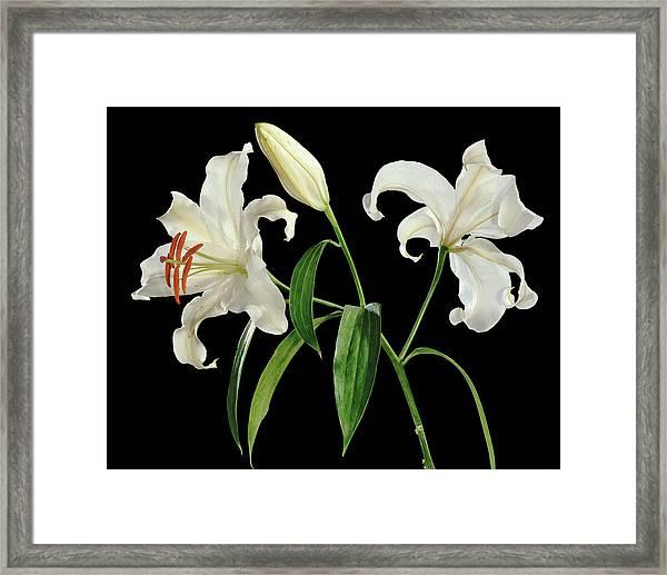 Madonna Lily (lilium Candidum) Framed Print by Gilles Mermet