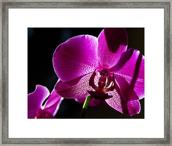 Magenta Orchid Framed Print