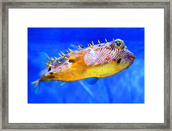 Magic Puffer - Fish Art By Sharon Cummings Framed Print