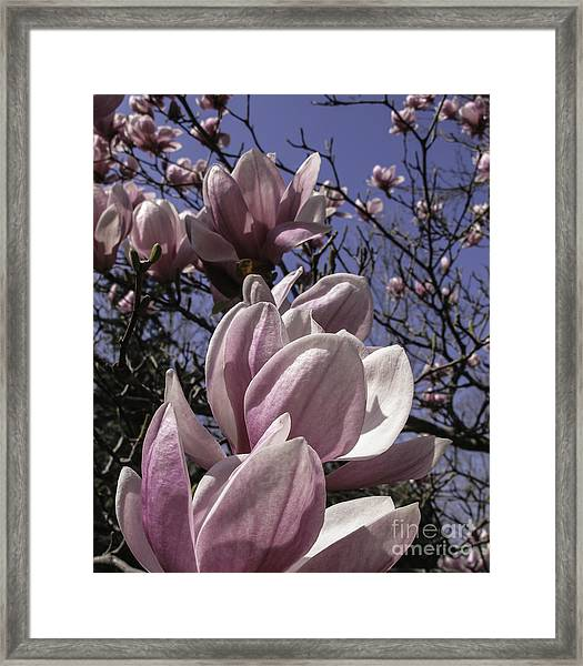 Magnificent Magnolia Framed Print