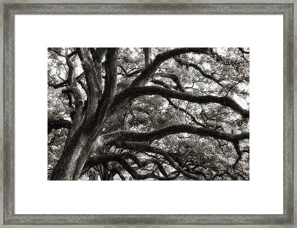 Magnificent Oaks Of Louisiana Framed Print