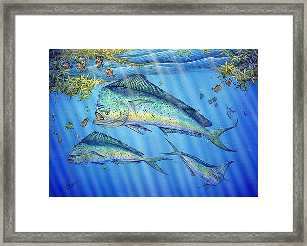 Mahi Mahi In Sargassum Framed Print