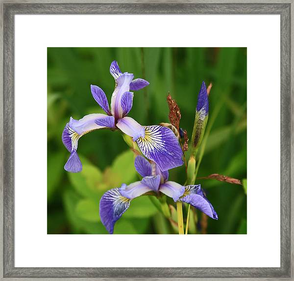 Maine Wild Iris Framed Print