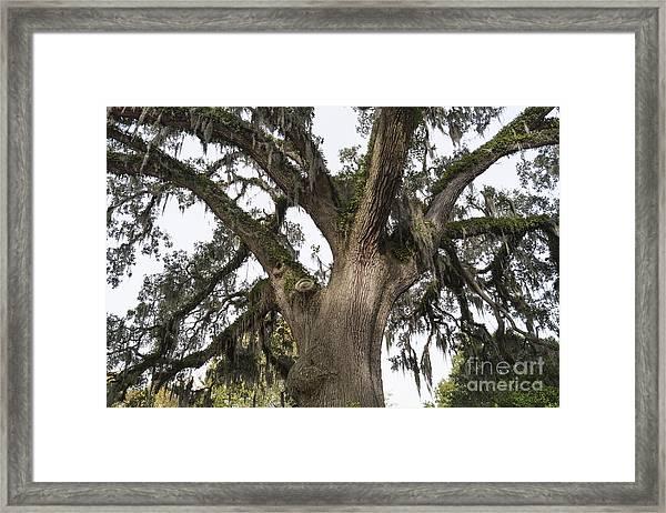 Majestic Live Oak Tree Framed Print