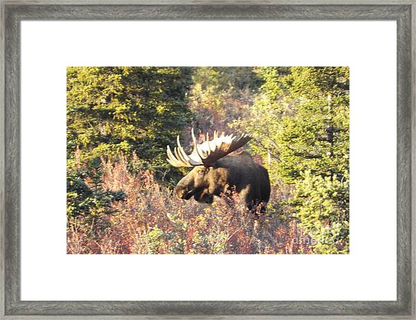 Framed Print featuring the photograph Majestic Moose by Barbara Von Pagel
