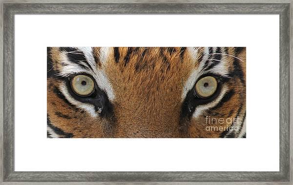 Malayan Tiger Eyes Framed Print