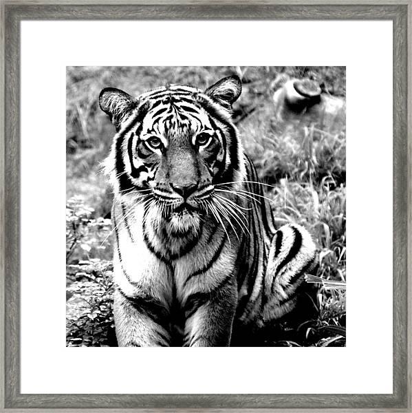 Malayan Tiger Framed Print