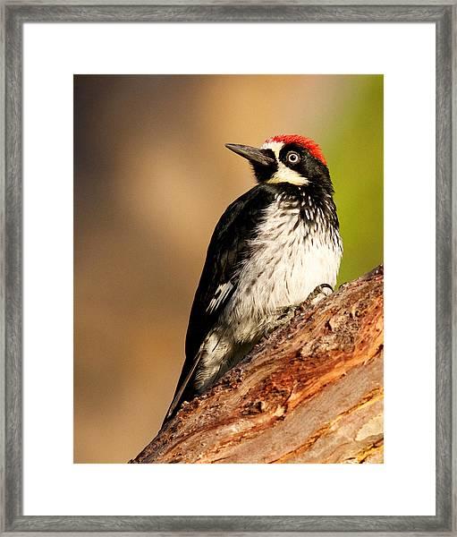 Male Acorn Woodpecker Framed Print