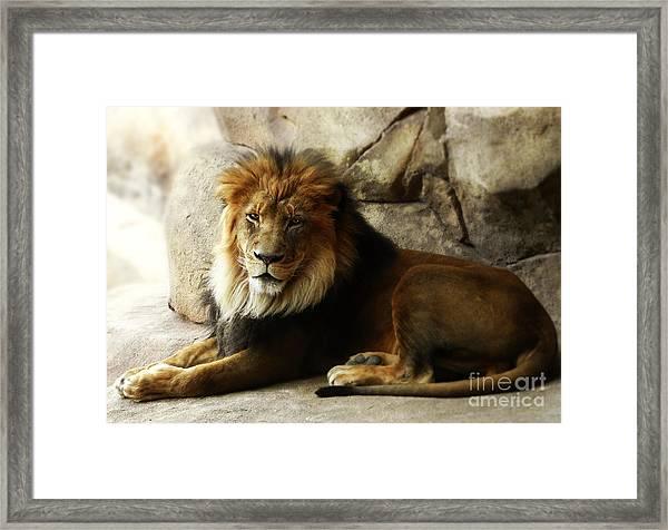 Male Lion At Rest Framed Print