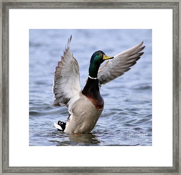 Male Mallard Duck Framed Print