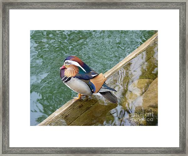 Male Mandarin Duck Sleeping At Pond Edge Framed Print