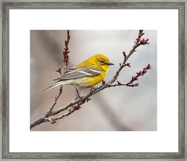 Male Pine Warbler 2 Framed Print