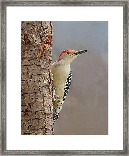 Male Redbellied Woodpecker 1 Framed Print