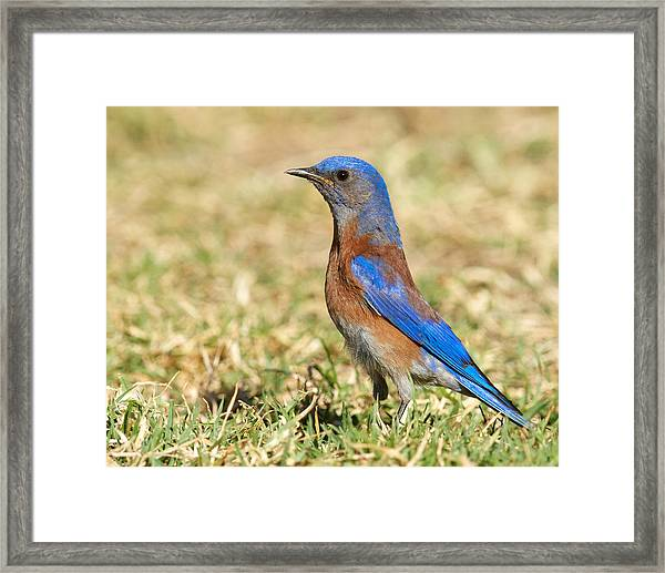 Male Western Bluebird Framed Print