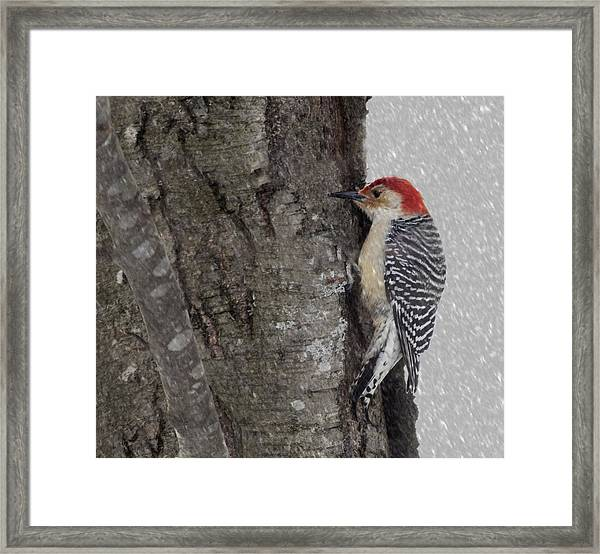 Male Woodpecker Feeding  Framed Print