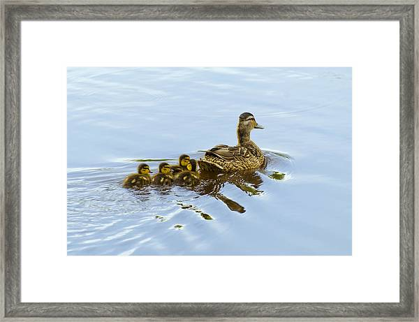 Mallard And Chicks  Framed Print