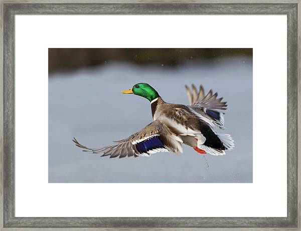 Mallard Drake Taking Flight Framed Print by Ken Archer