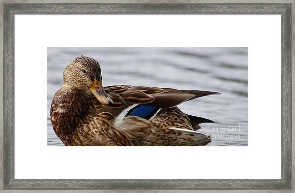 Mallard Duck Closeup Framed Print