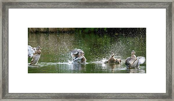 Mallard Ducks Framed Print by Steve Allen/science Photo Library