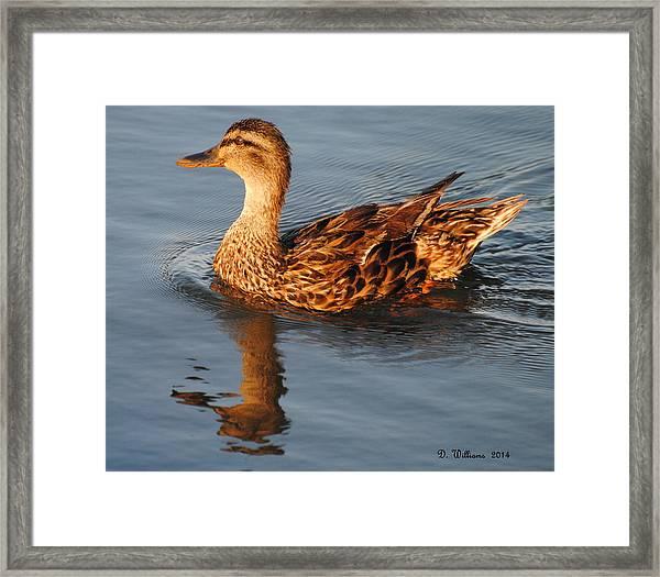 Mallard Hen Swimming Framed Print