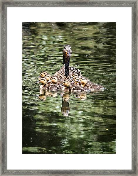 Mallard Hen With Ducklings And Reflection Framed Print