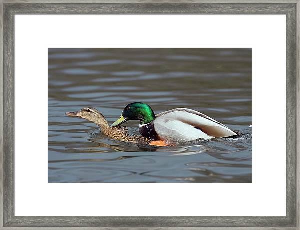Mallards Mating Framed Print by Bildagentur-online/mcphoto-rolfes