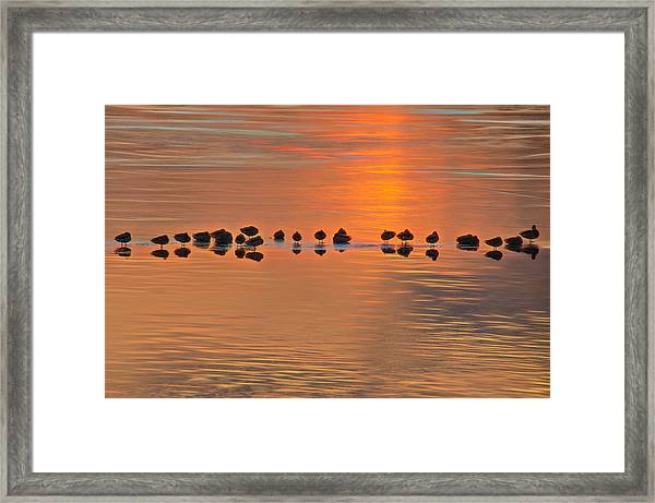 Framed Print featuring the photograph Mallards On Ice Edge During Sunset by Beth Sawickie