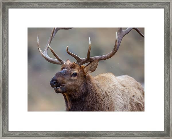 Mammoth Bull Framed Print