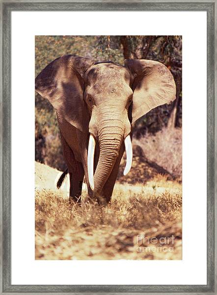 Mana Pools Elephant Framed Print