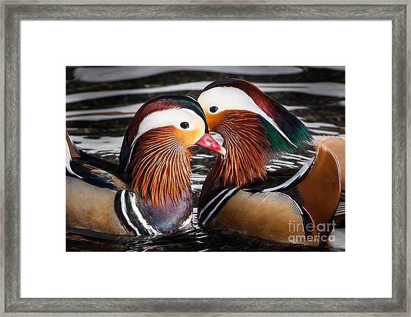 Mandarin Lovers Framed Print