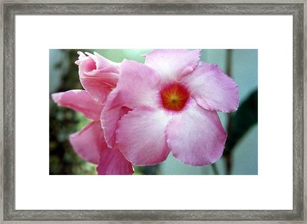 Mandevilla Alice Dupont Framed Print