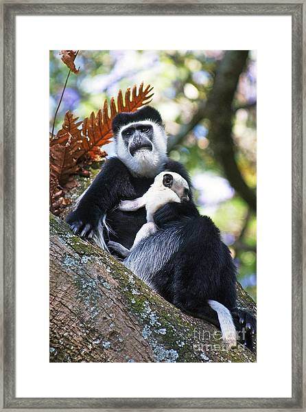 Mantled Guereza Mother And Baby Framed Print by Brian Gadsby