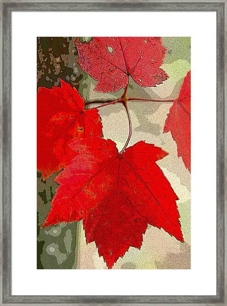 Maple Leaf Display Framed Print