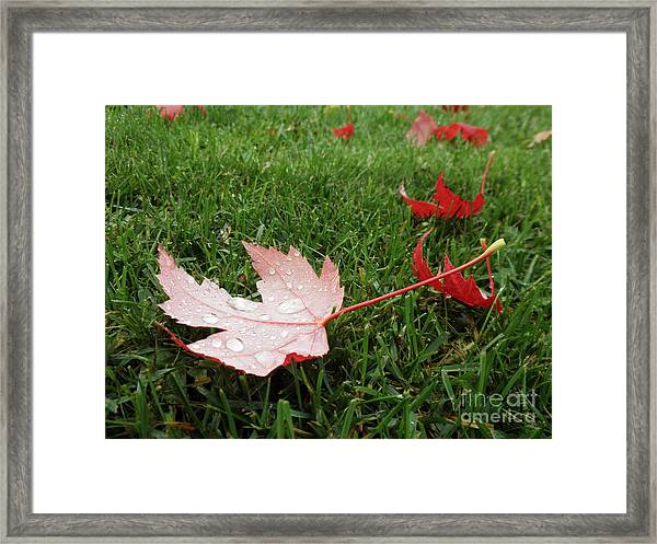 Maple Leaf In Canada Framed Print