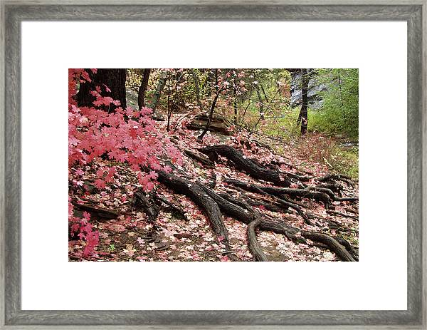 Maple Leaves And Tree Roots Framed Print