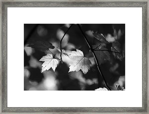Maple Leaves In Black And White Framed Print