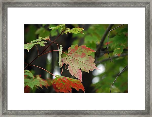 Maple Turning Framed Print