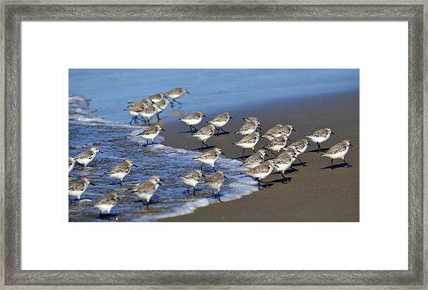 March Of The Sandpipers Framed Print