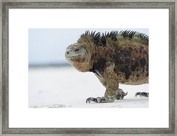 Marine Iguana Male Turtle Bay Santa Framed Print