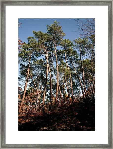 Maritime Pine Trees Framed Print
