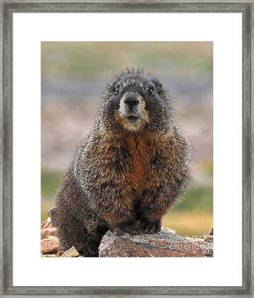 Framed Print featuring the photograph Marmot by Mae Wertz
