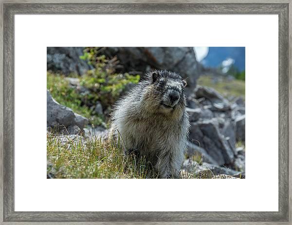 Marmot In Assiniboine Park, Canada Framed Print by Howie Garber