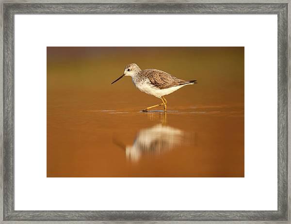 Marsh Sandpiper (tringa Stagnatilis) Framed Print