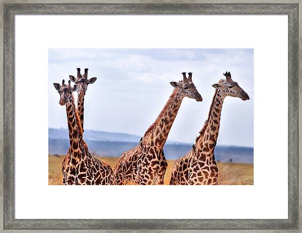 Masai Giraffe Framed Print